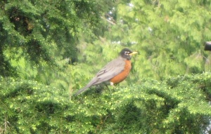 photo of a Robin, Western Washington, June 2012