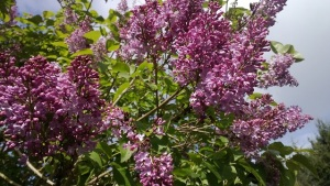 Photo of a lilac tree Miriah saw on her walk in Bellevue on 30 April 2013