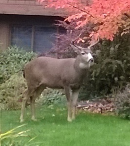 A deer visits my neighbor's yard.