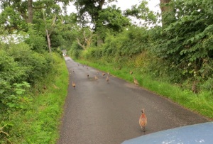 Pheasants on the road near Stirling, Scotland August 2013