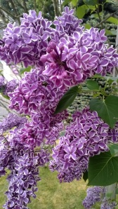 Lilacs at my house.