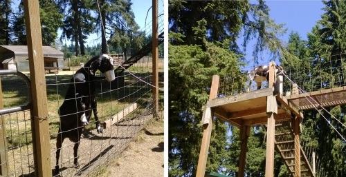 These goats have learned to this pulley to pull the little bucket toward them and eat out of it.